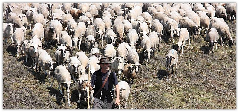 herder met skape