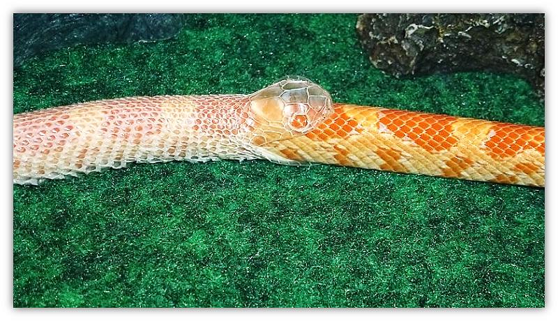 slang vervel