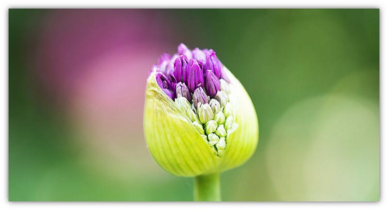 blomknop