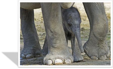 olifantpote