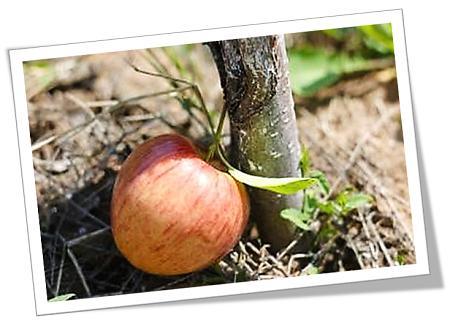 appel op die grond