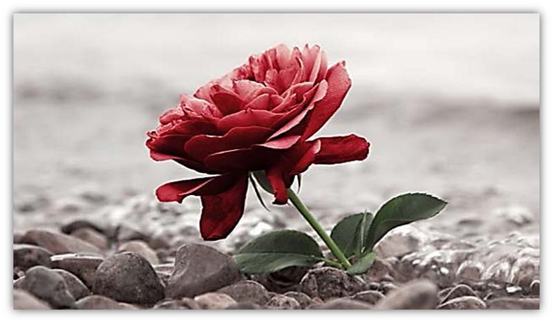 roos tussen rotse